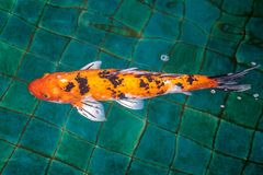 Naranja o color oro de los pescados de lujo de la carpa o de la mierda o de Koi, nadando en la charca que onda de agua Foto de archivo