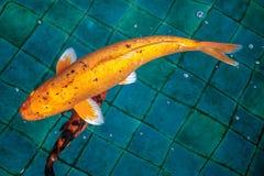 Naranja o color oro de los pescados de lujo de la carpa o de la mierda o de Koi, nadando en la charca que onda de agua Fotos de archivo