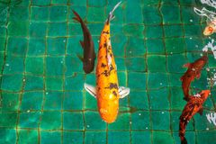 Naranja o color oro de muchos pescados de lujo de la carpa o de la mierda o de Koi, nadando en la charca que onda de agua Fotos de archivo