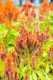 Naranja roja de la cabeza de flor de la cresta de gallo con las abejas Imagen de archivo libre de regalías