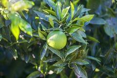 Naranja verde fresca en árbol Arboleda anaranjada del jardín en el sol Foto de archivo libre de regalías