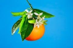 Naranjas con las flores anaranjadas del flor en azul Imágenes de archivo libres de regalías