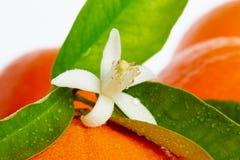 Naranjas con las flores anaranjadas del flor en blanco Foto de archivo libre de regalías