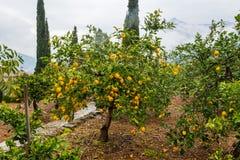 Naranjas de Frehs en un árbol anaranjado (majorca) Fotos de archivo libres de regalías