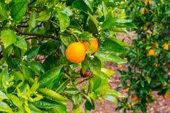 Naranjas de Frehs en un árbol anaranjado (majorca) Foto de archivo libre de regalías
