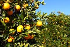 Naranjas de la Florida Imagenes de archivo