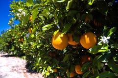 Naranjas de la Florida en árbol Imagen de archivo libre de regalías