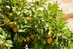 Naranjas de maduración en un árbol Imagen de archivo libre de regalías