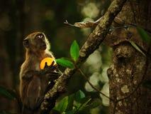 Naranjas de ofrecimiento del mono como amistad Imágenes de archivo libres de regalías