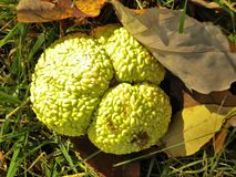 Naranjas de Osage Fotografía de archivo libre de regalías