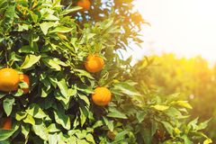 Naranjas en árbol Imágenes de archivo libres de regalías