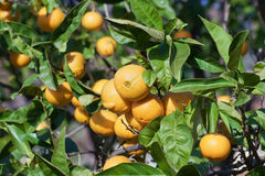 Naranjas en árbol Foto de archivo