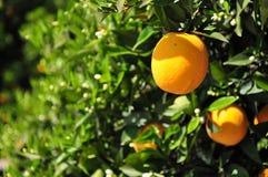 Naranjas en el árbol Imagen de archivo libre de regalías