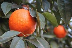 Naranjas en el árbol Foto de archivo