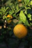 Naranjas en el árbol que se recogerá Foto de archivo libre de regalías