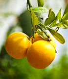 Naranjas en la ramificación Imagen de archivo libre de regalías