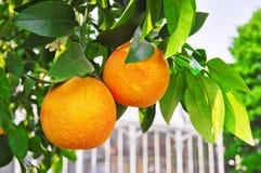 Naranjas en la rama Fotografía de archivo