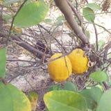 naranjas en nuestra yarda Imagenes de archivo