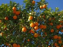 Naranjas en un árbol Imágenes de archivo libres de regalías
