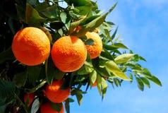 Naranjas en un árbol Imagen de archivo libre de regalías