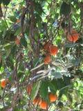 Naranjas en un árbol foto de archivo libre de regalías