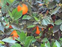 Naranjas en un árbol fotografía de archivo libre de regalías