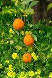Naranjas en un árbol Fotografía de archivo