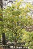 Naranjas en un árbol Imagenes de archivo