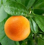 Naranjas en un árbol de fruta cítrica. Fotografía de archivo libre de regalías