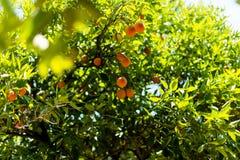 Naranjas en un árbol en el jardín Fotografía de archivo
