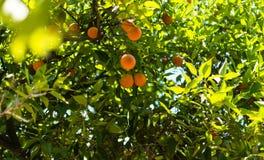Naranjas en un árbol en el jardín Imagen de archivo