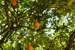 Naranjas en un árbol en el jardín Imágenes de archivo libres de regalías