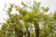Naranjas en un árbol en la primavera Fotos de archivo libres de regalías