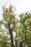 Naranjas en un árbol en la primavera Imagen de archivo libre de regalías