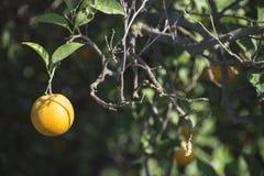 Naranjas en una rama imagen de archivo libre de regalías