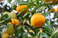 Naranjas frescas en árbol, con las hojas y las ramas imagen de archivo libre de regalías