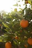 Naranjas frescas en árbol en el Sun Imágenes de archivo libres de regalías
