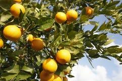 Naranjas frescas en árbol en el Sun Imagen de archivo