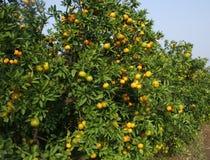 Naranjas frescas en un árbol Imágenes de archivo libres de regalías