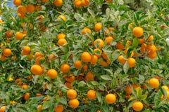 ¡Naranjas! Fruta cítrica muy dulce y sabrosa Fotos de archivo libres de regalías