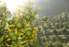 Naranjas inmaduras Imagen de archivo libre de regalías