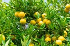 Naranjas maduras brillantes en el árbol rodeado por las hojas verdes Imagen de archivo libre de regalías