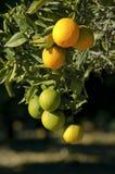 Naranjas maduras e inmaduras que cuelgan en un árbol Fotografía de archivo libre de regalías