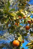 Naranjas maduras en árbol Imagen de archivo