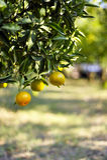 Naranjas maduras en el árbol Fotografía de archivo libre de regalías