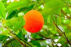 Naranjas maduras que cuelgan en rama de un árbol anaranjado en la arboleda Fotos de archivo