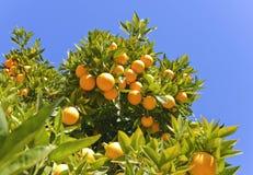 Naranjas maduras que cuelgan en un árbol Fotografía de archivo