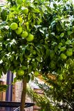 Naranjas no maduras en el árbol Imágenes de archivo libres de regalías
