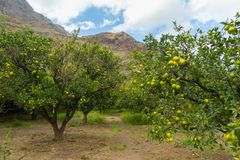 Naranjas orgánicas frescas que cuelgan en árbol en paisaje hermoso foto de archivo