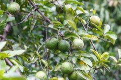 Naranjas que crecen en el árbol Imágenes de archivo libres de regalías